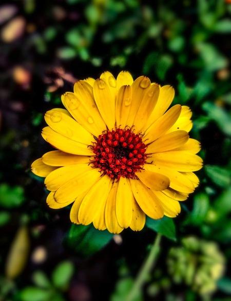 Fleur de souci - Mes courses en vrac(1)